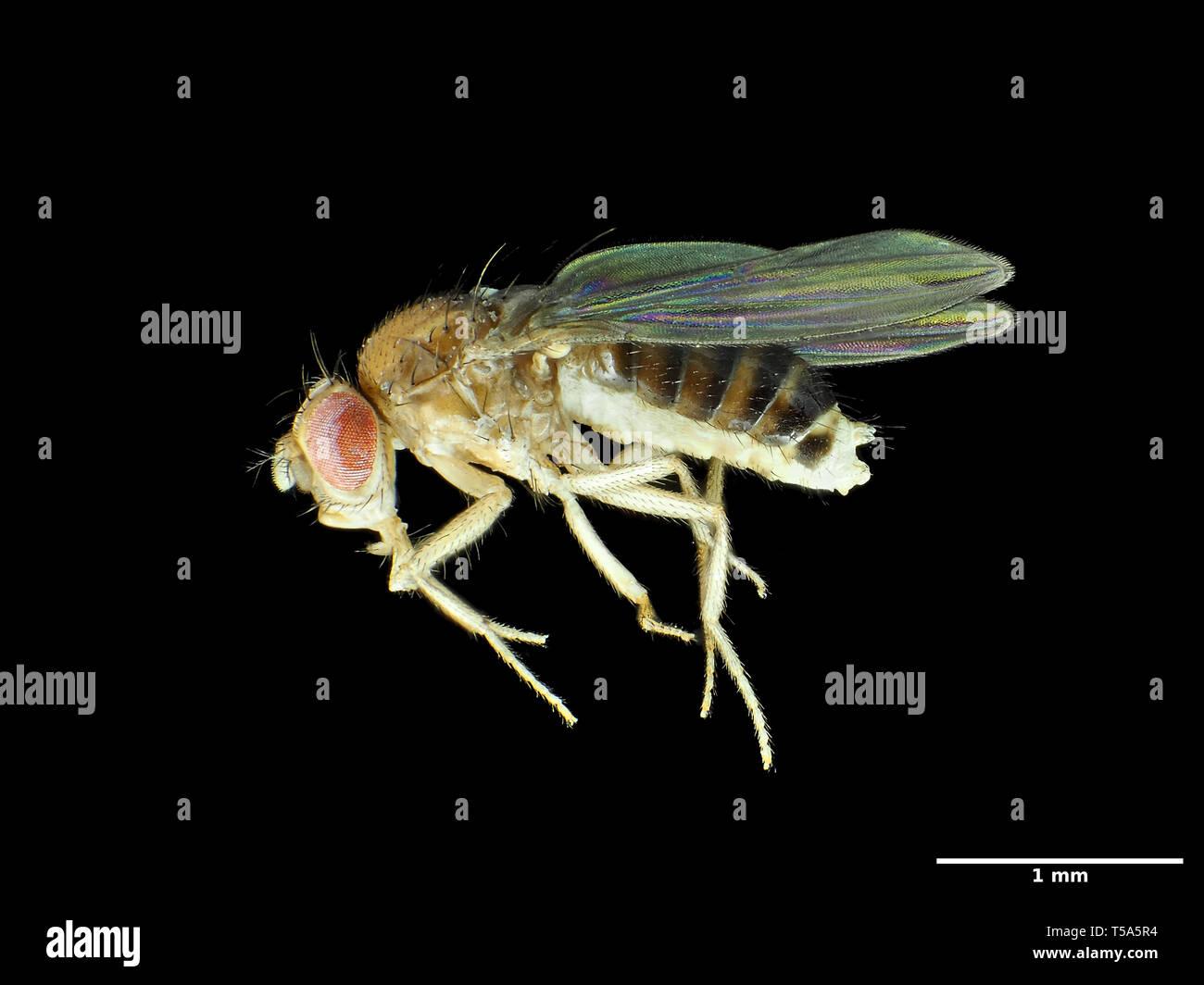 Tiny fruit fly (about 2.5mm in length) Drosophila melanogaster - Stock Image