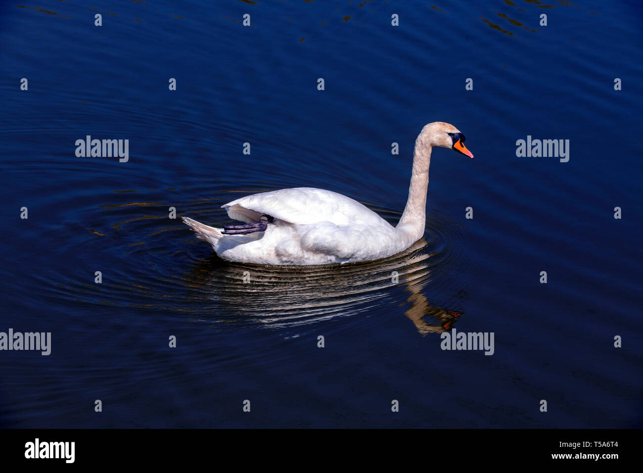 Beautiful swan on a lake at the Hampton's Nature Reserve, Worcester Park, London, England - Stock Image
