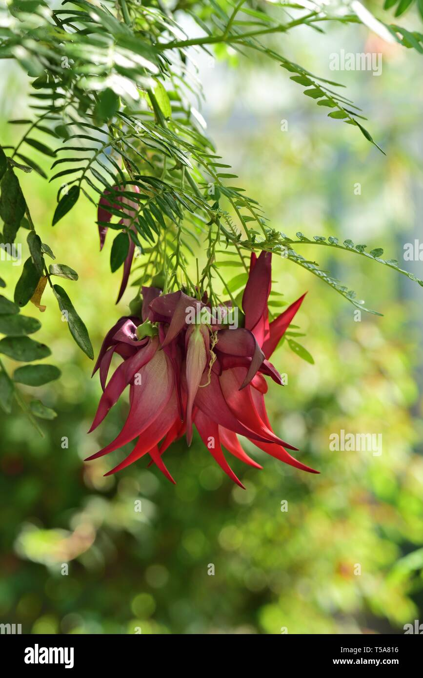 Red blooms of the Lobster Claw plant. - Stock Image
