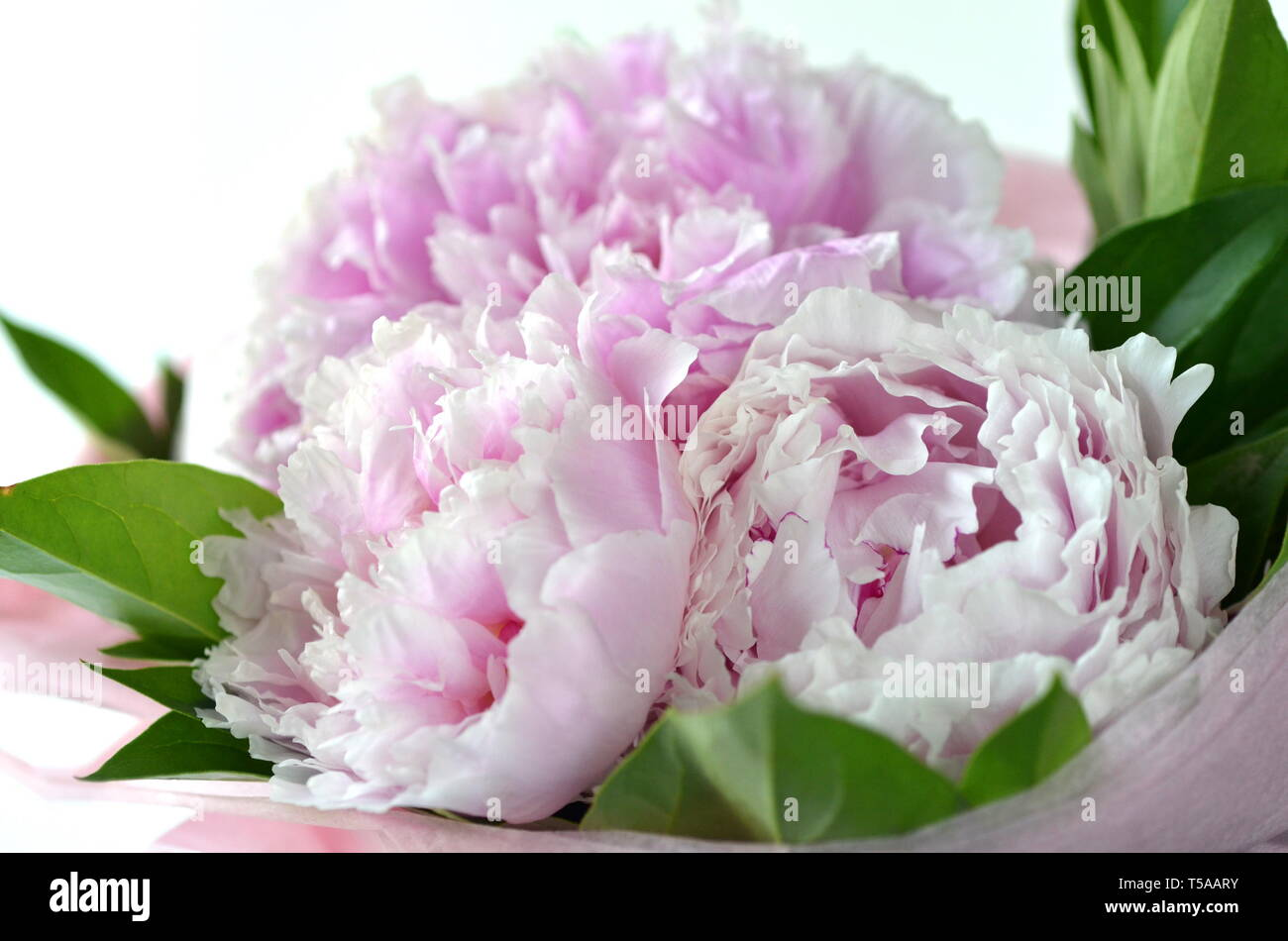 Light pink peony bouquet wrapped in tissue paper in tote bag with copy space Stock Photo