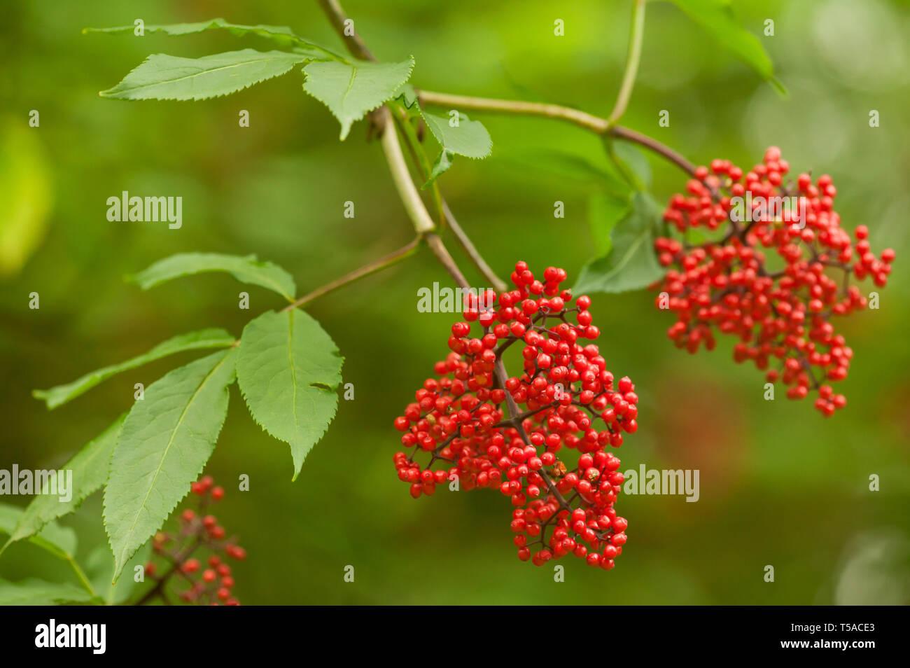 Red Elderberry Tree With Red Berries In Western Washington Grows