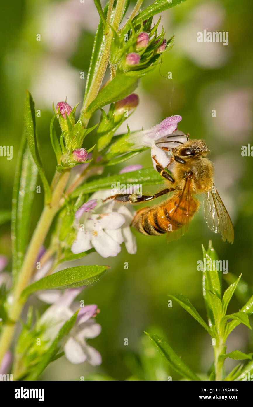 Sammamish, Washington, USA.  Honeybee pollinating Winter Savory herb.  Its aromatic scent repels harmful insects and pests while attracting bees and o - Stock Image