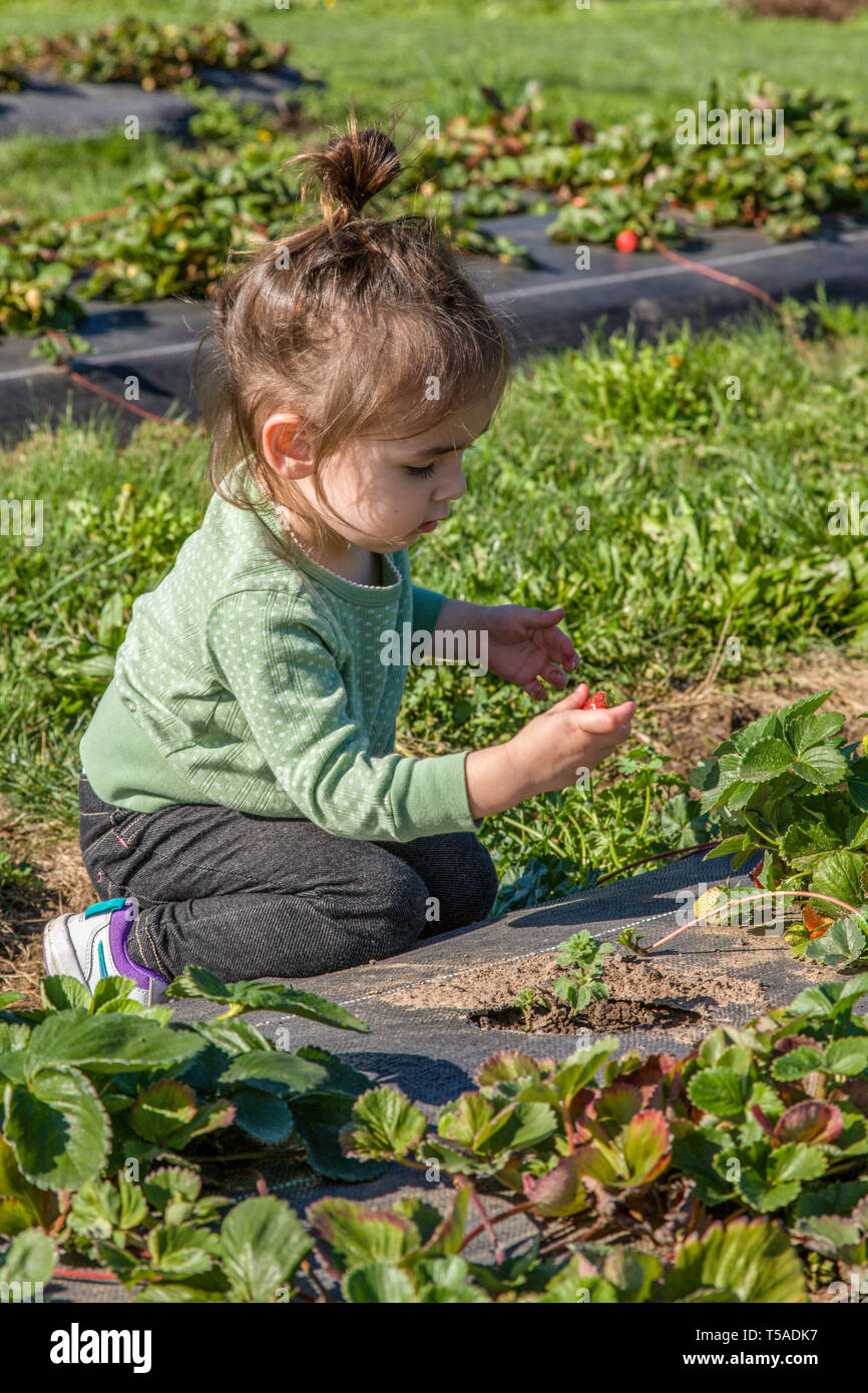 Hood River, Oregon, USA.  Toddeler girl enjoying the novelty of picking a fresh strawberry to eat. (MR) - Stock Image