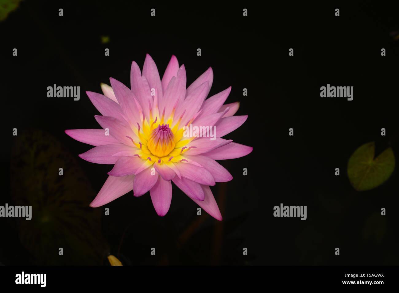 Flor de Loto - Stock Image