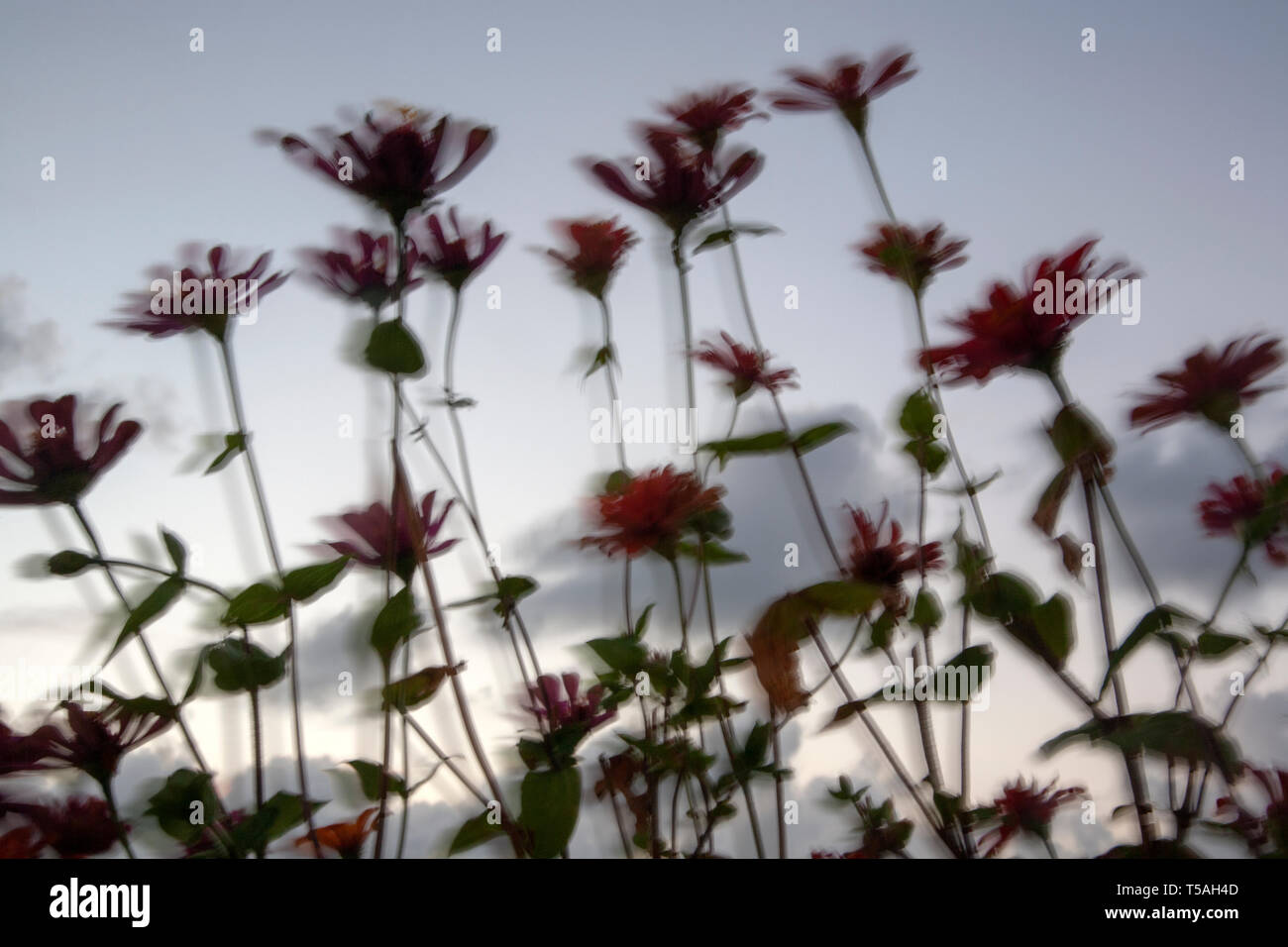 Flower Stems Silhouette Blurred - Stock Image