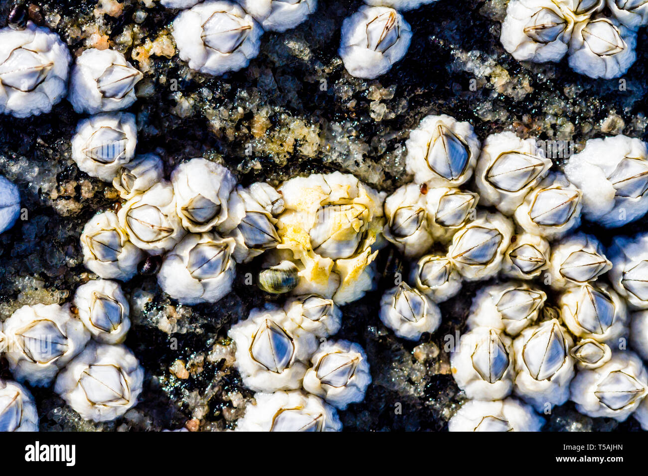 View of the limestone houses of crustaceans from above. Sea mollusks Semibalanus balanoides on the littoral of the White Sea at low tide. - Stock Image