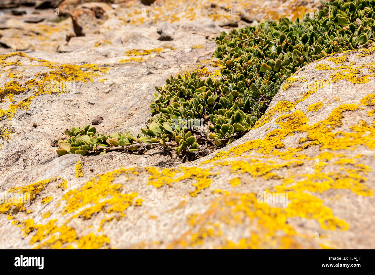 Succulents grow on scanty stony soil. Red center in the Australian desert, outback in Northern Territory, Australia - Stock Image