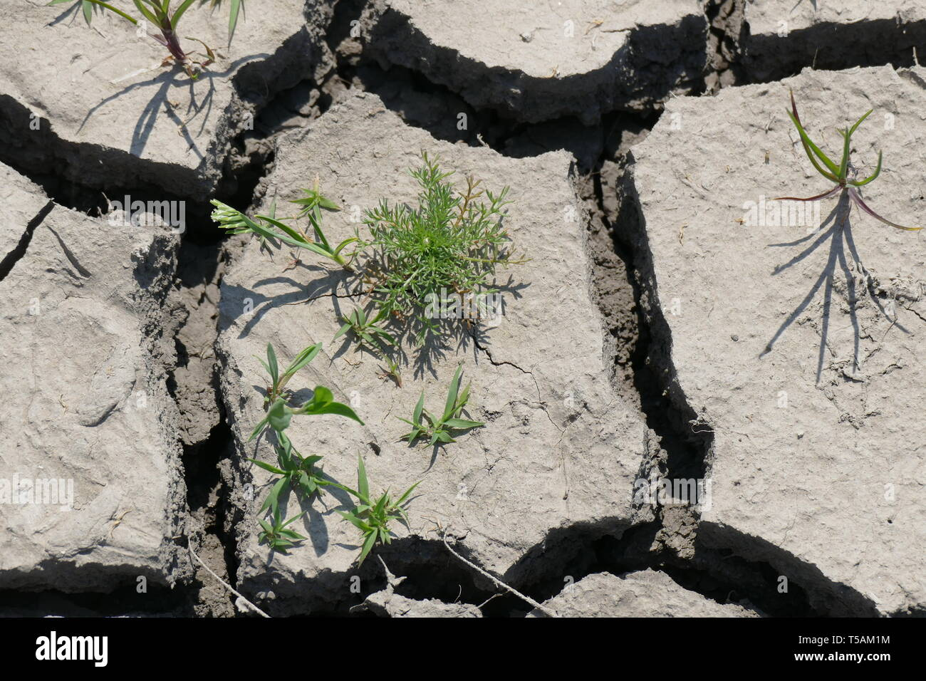 Cracked dry land. Drought, waterlessness. Disaster. Small plants thirst for rain. Stock Photo