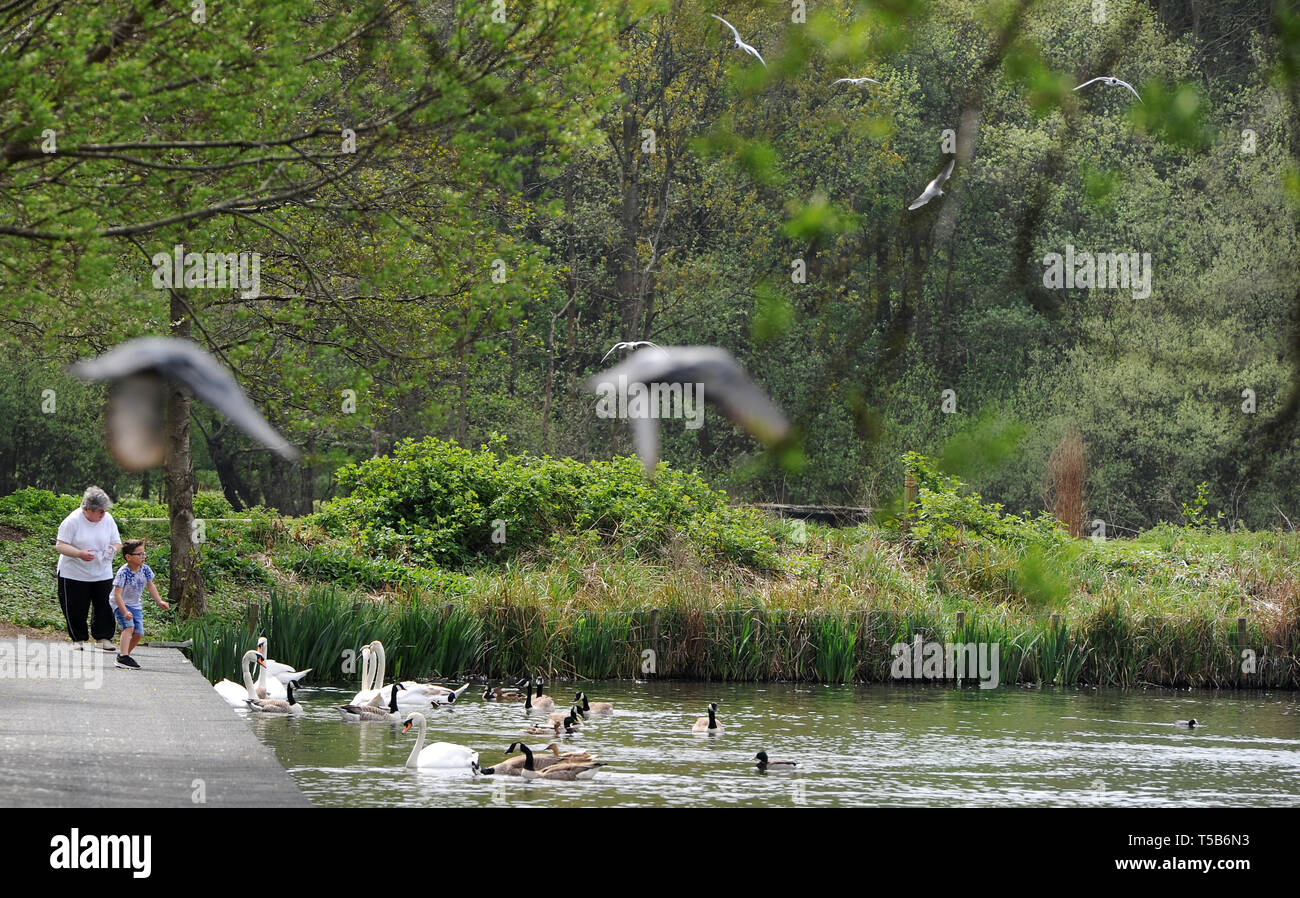 Bolton, Lancashire, UK. 23rd Apr, 2019. The final day of the Easter heat wave in Moses Gate Country Park, Bolton, Lancashire. After record temperatures in the UK during the Bank Holiday weekend, the fine weather is set to end with rain moving into the North West of England from tomorrow. Feeding the ducks in the park. Picture by Paul Heyes, Tuesday April 23, 2019. Credit: Paul Heyes/Alamy Live News - Stock Image