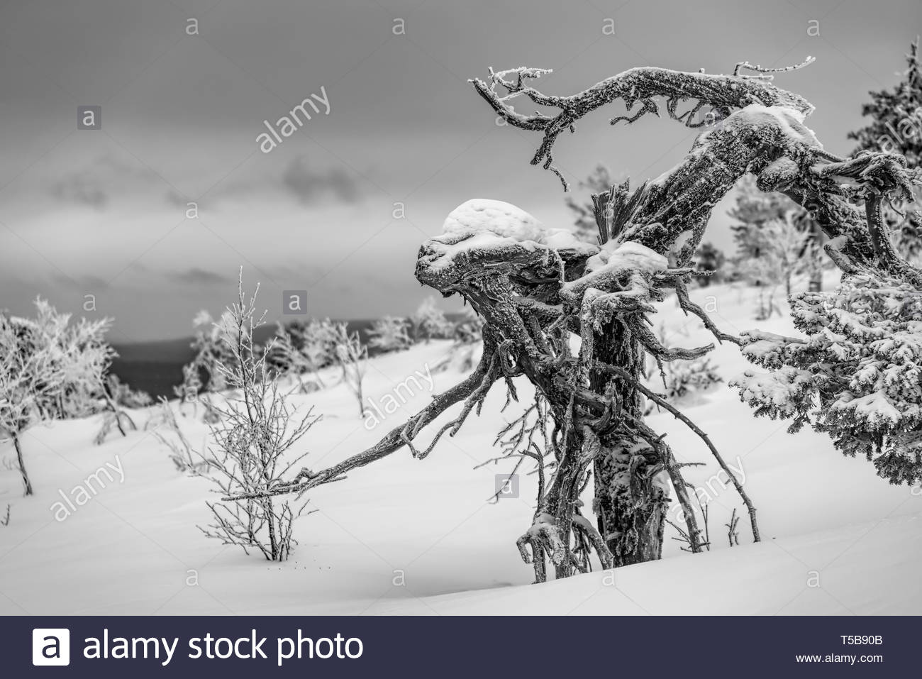 Frozen pine tree with an appearance of a wooden alien in the Finnish Lapland on a fell after a snow storm in February 2019. - Stock Image