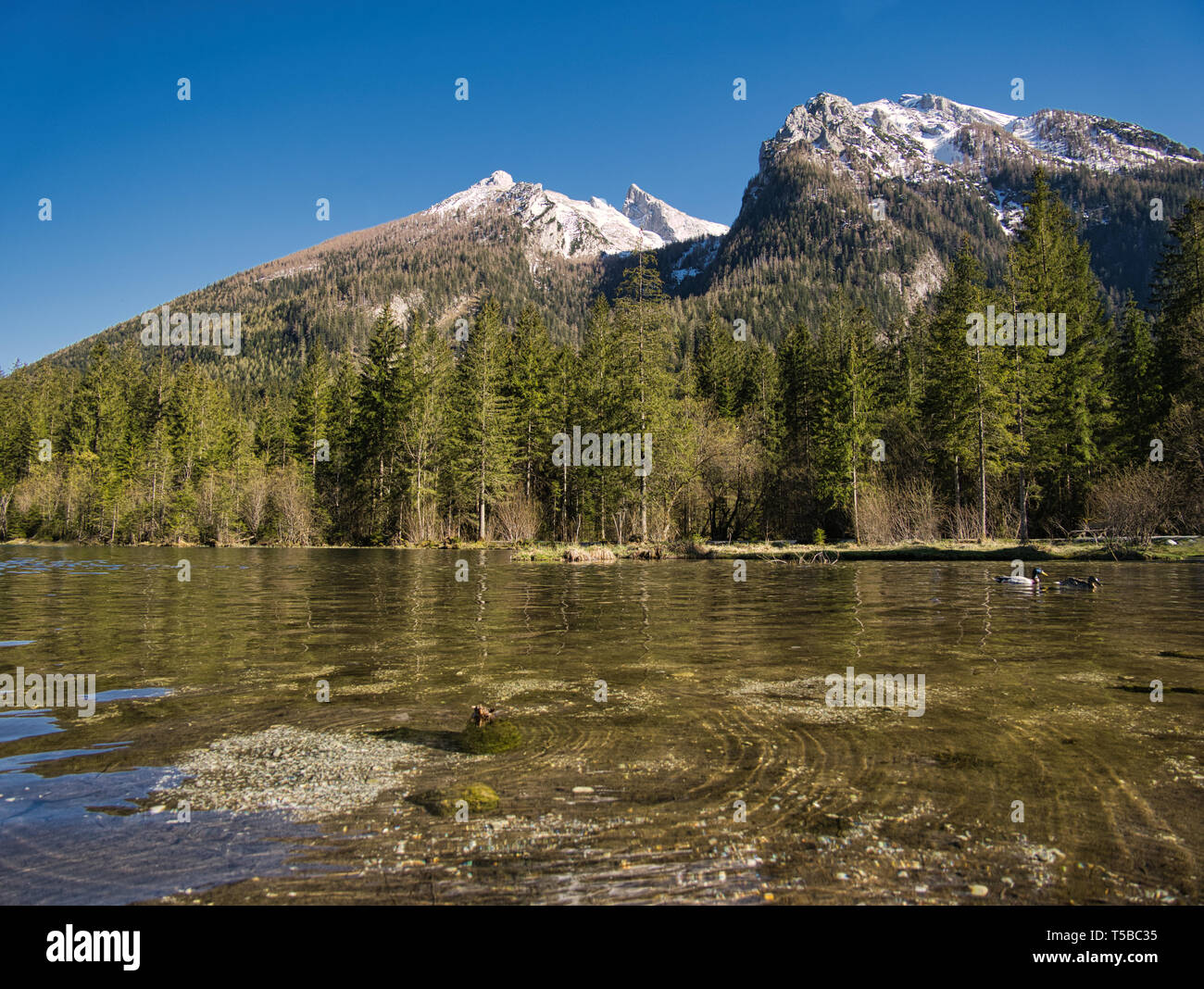 Two ducks on the crystal-clear Hintersee in Berchtesgaden with snow-covered mountains in the background - Stock Image