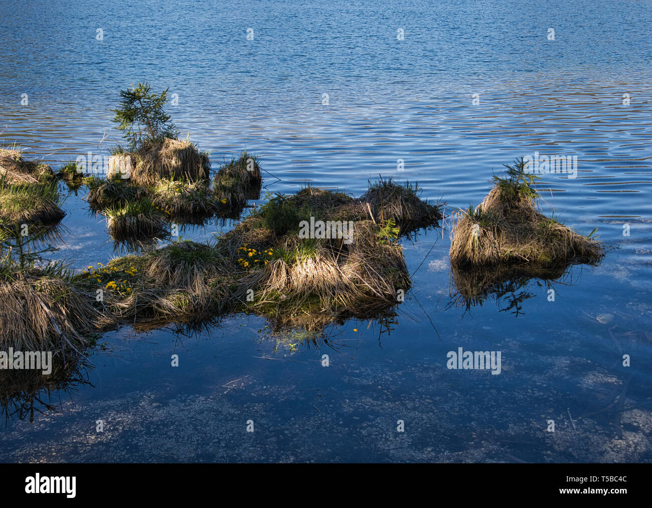 Spruces and marigolds grow on a heap of earth in the middle of a mountain lake. - Stock Image