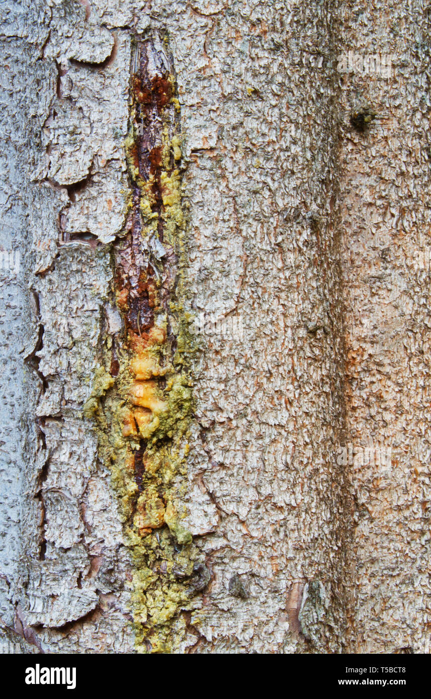 Resin dripping from a pine tree, close-up of the bark of a Norway spruce Stock Photo