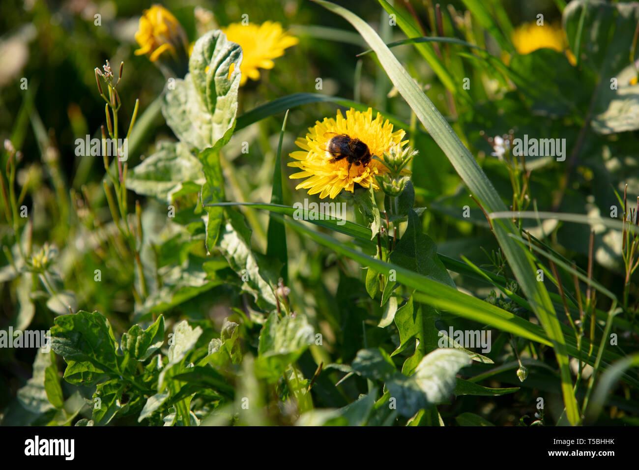 Hummel auf Blume - Stock Image