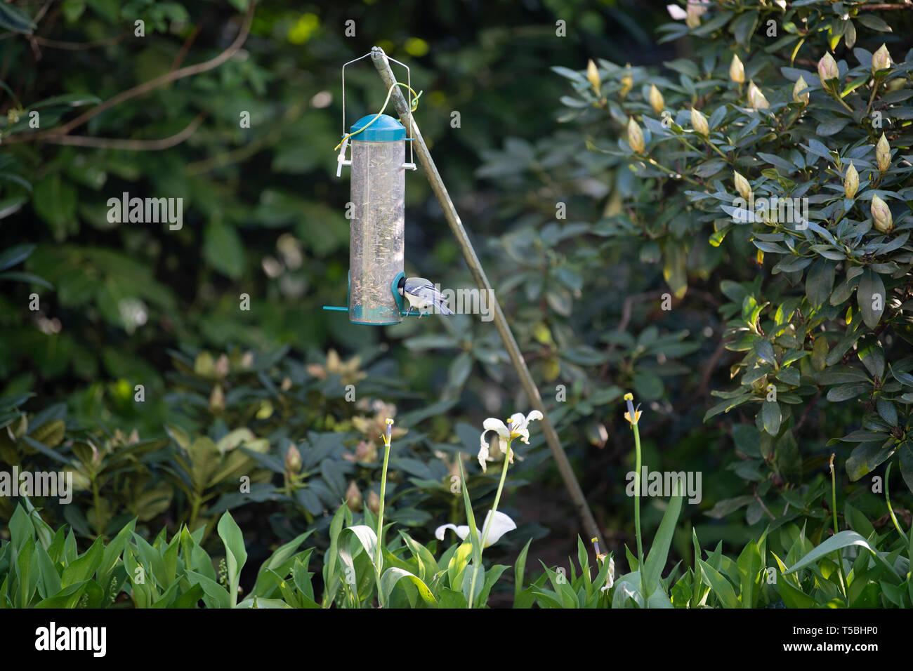 Ein Vogel pickt sich Körner aus einem Futterbehälter Stock Photo