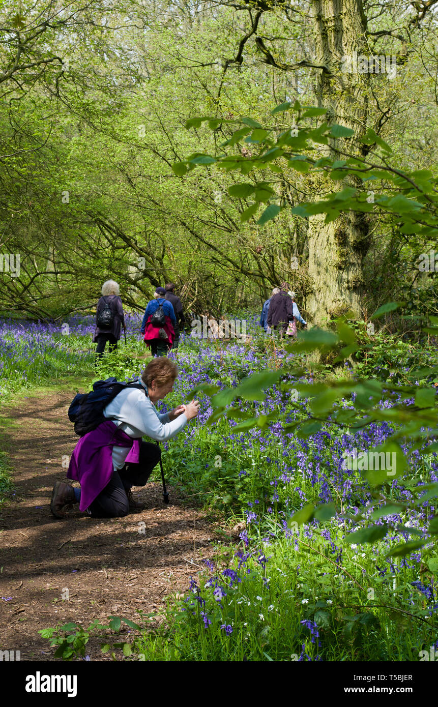 Senior woman, member of a walking group, stops to take a photo of bluebells, Everdon Stubbs, Northamptonshire, UK - Stock Image