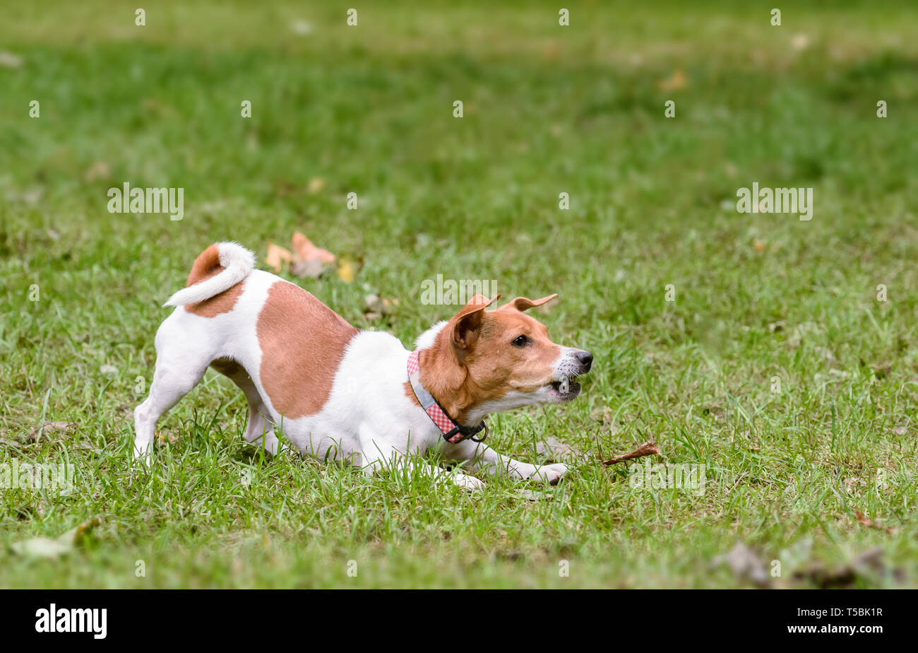 Dog standing in warning pose barking and snarling - Stock Image