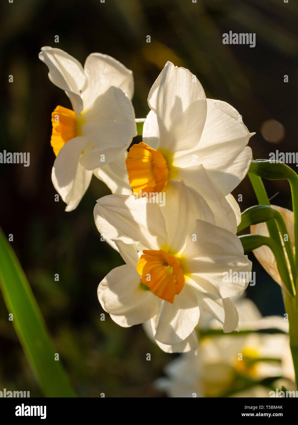 Pure white petals and an orange cup of the fragrant, multi headed, spring flowering hardy bulb, Narcissus tazetta 'Cragford' Stock Photo