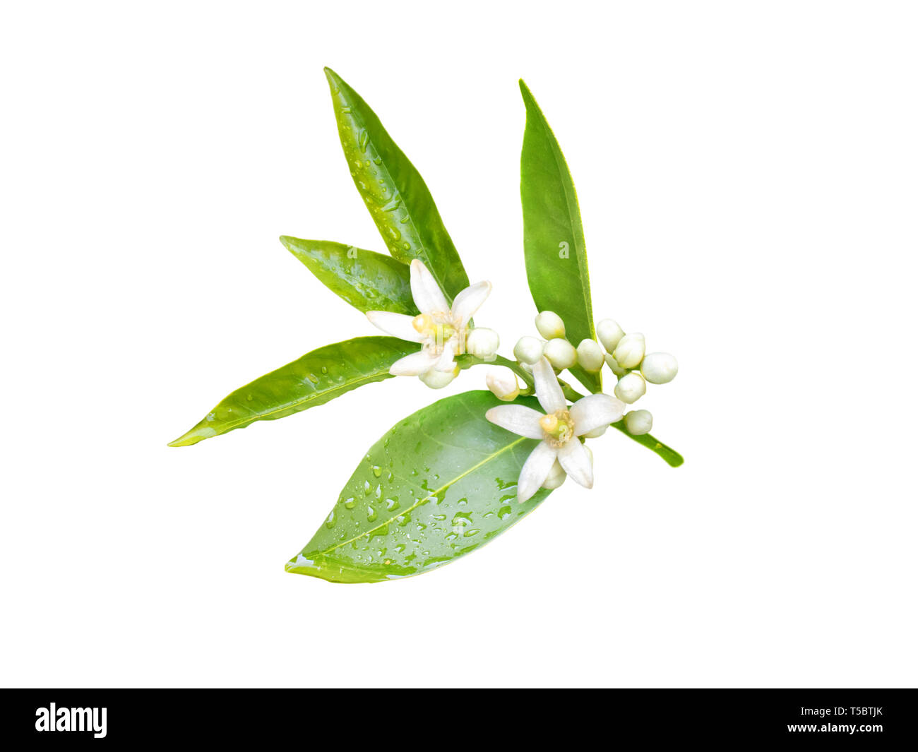 Neroli blossom. Orange tree branch with white fragrant flowers, buds and leaves isolated on white. - Stock Image
