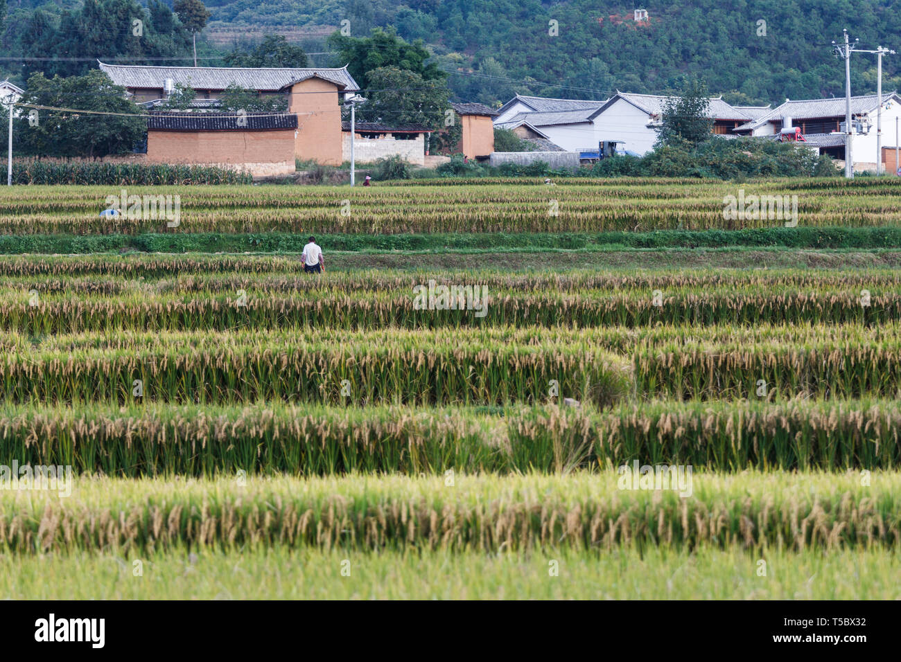 Fully Grown Rice Fields During Harvest In Chinese