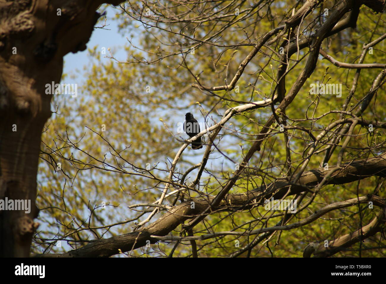 A crow perched aloft, high up on a tree surveying the surrounding territory. - Stock Image