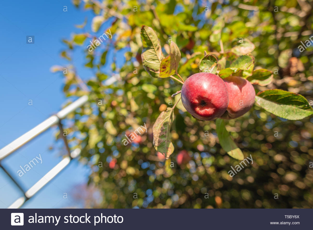 Using a ladder to reach apples high on an apple tree. - Stock Image