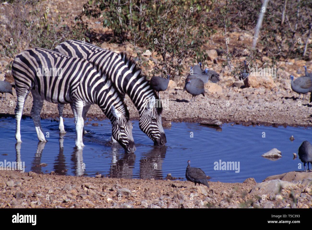 Namibia. Etosha National Park. Burchell's zebra drinking at waterhole. (Equus quagga burchellii) - Stock Image