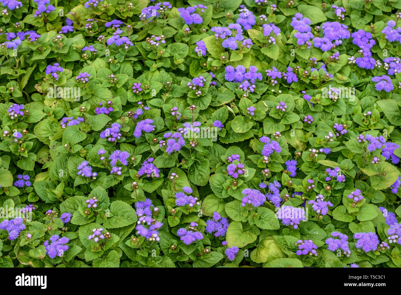 Beautiful spring floral background with delicate lilac flowers of Ageratum houstonianum aster family on a flowerbed in the park - Stock Image