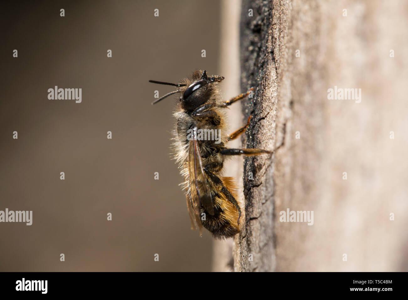 Mauerbiene, Osmia, Mason bee - Stock Image