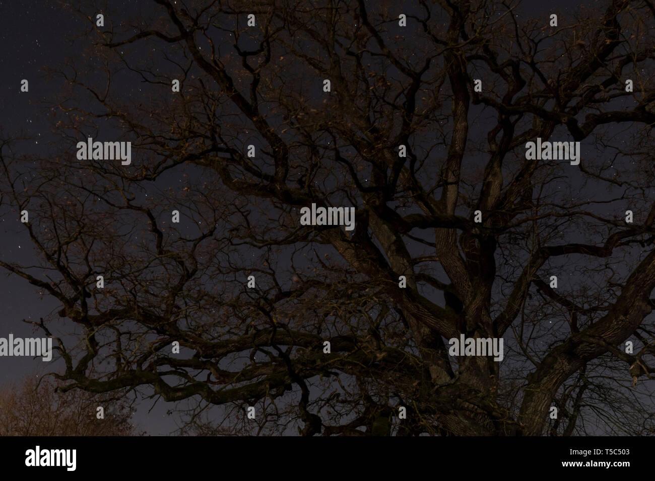 Alte Eiche bei Nacht - Stock Image