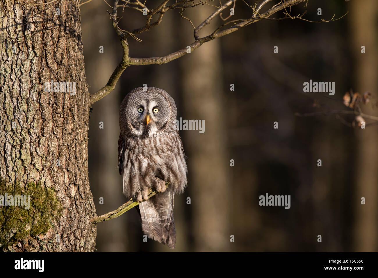 Bartkauz, Strix nebulosa, great grey owl Stock Photo