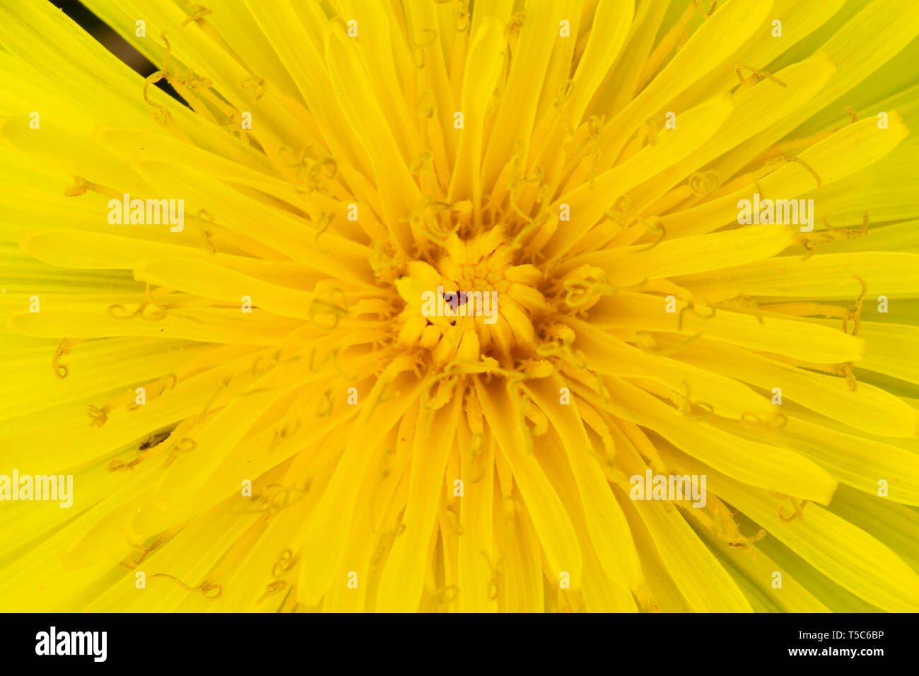 Dandelion flower, Taraxacum officinale, Monmouthshire. Family Asteraceae - Stock Image