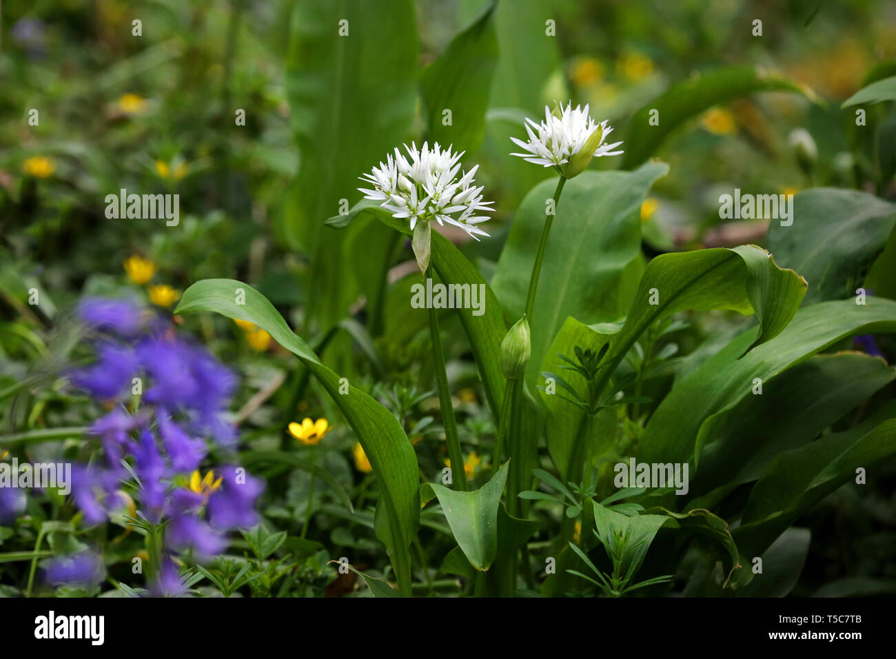 Wild garlic flowering plant - Stock Image
