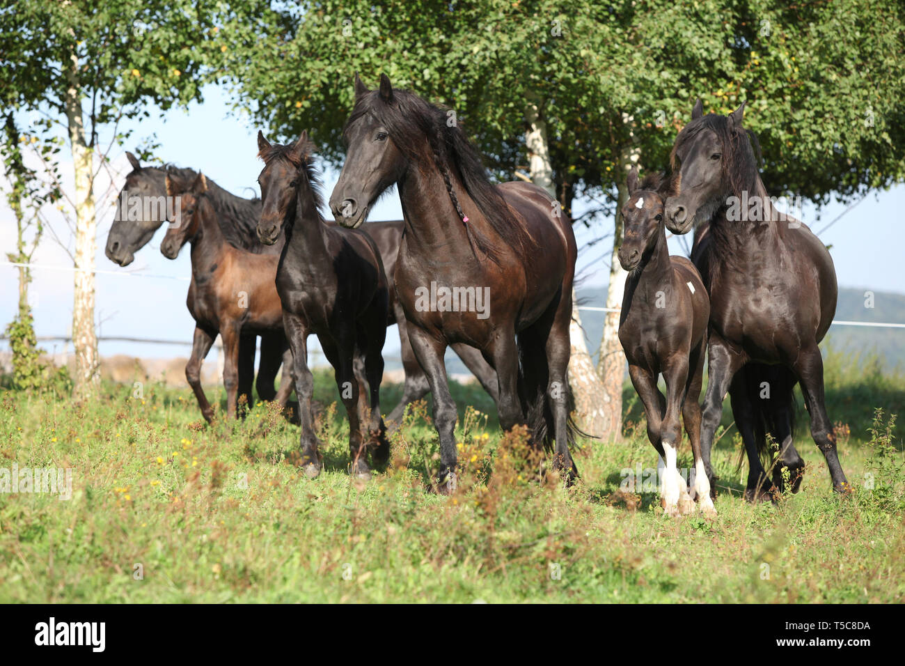 Beautiful Black Friesian Horses Running On Pasturage Stock Photo Alamy