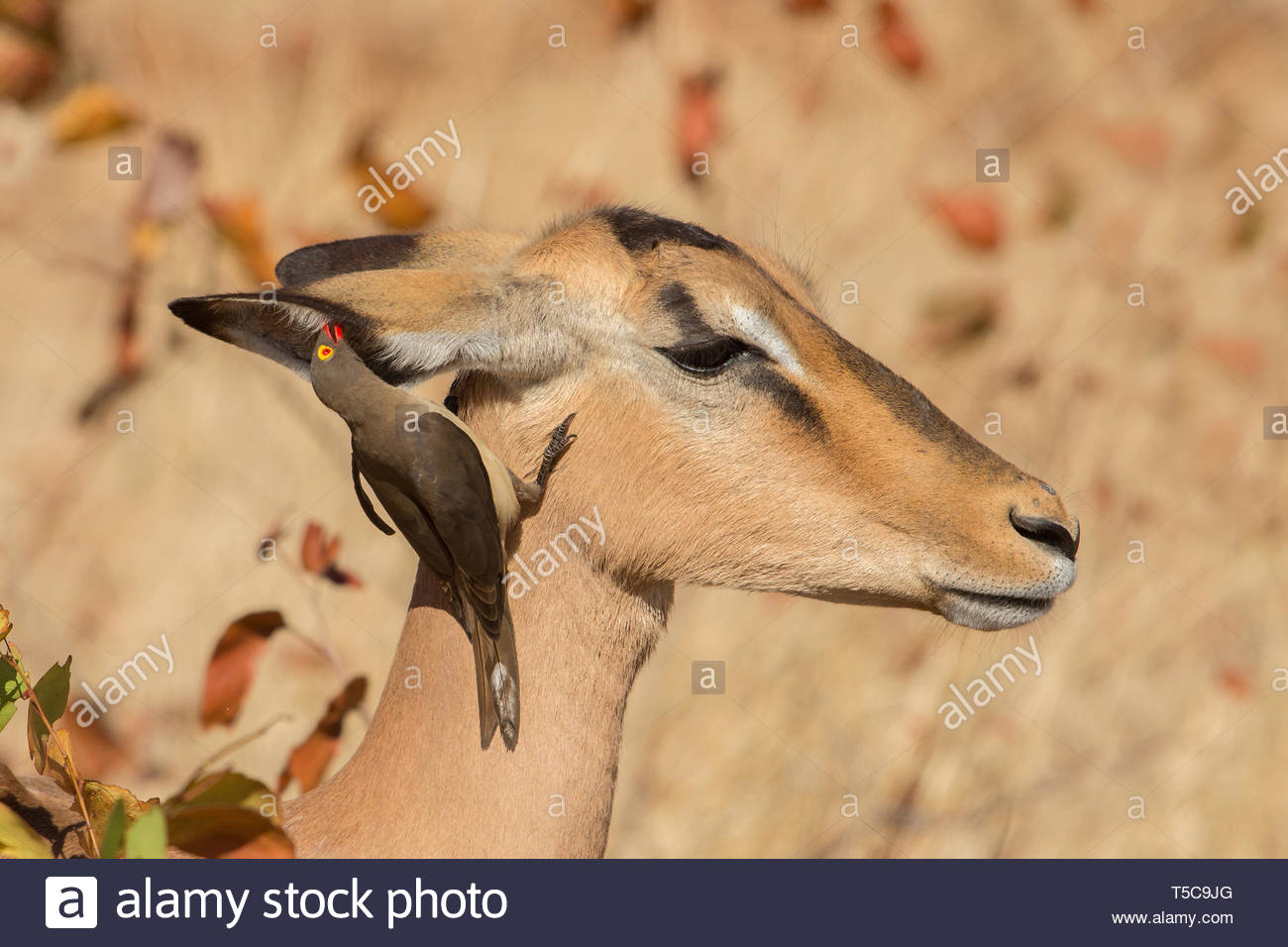Symbiosis, Impala with oxpecker, Kruger Park, South Africa - Stock Image