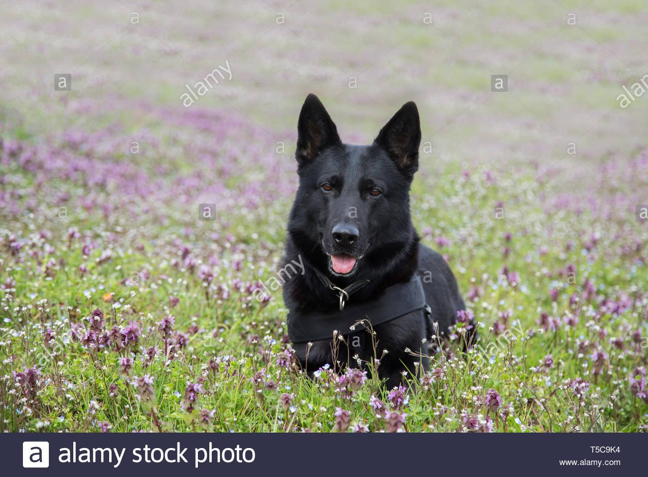 German Shepherd among flowers - Stock Image