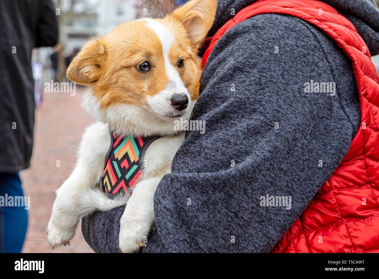A happy, contented dog sits on it's owner's lap. Stock Photo