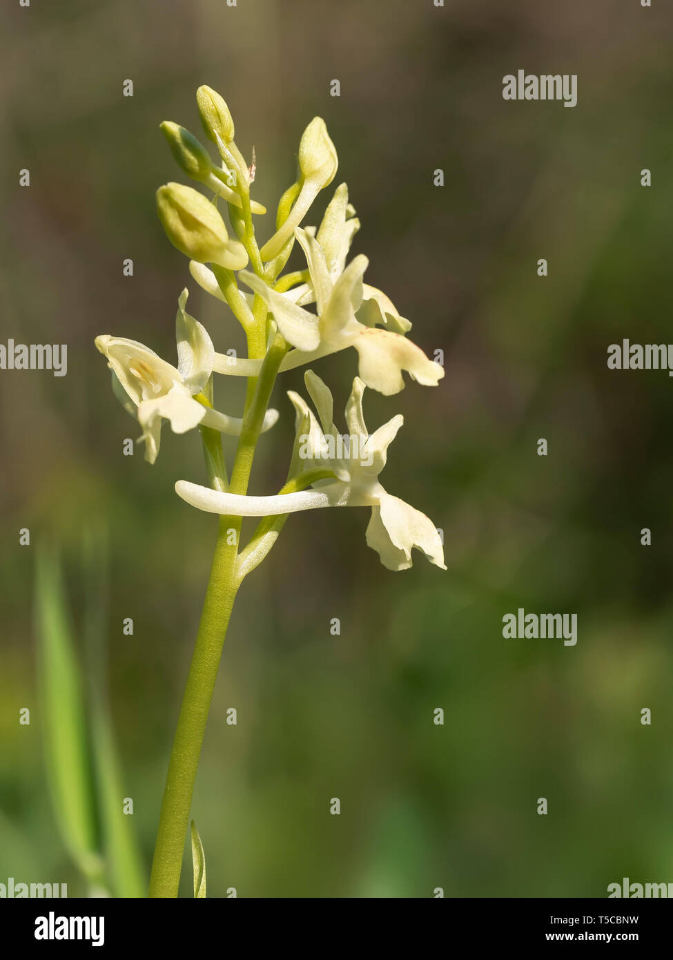 Orchis provincialis, pauciflora, the Provence orchid. Pale yellow wild flower, closeup detail. - Stock Image