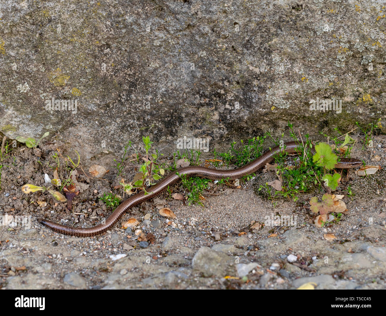 Slowworm aka slow worm or blindworm, Anguis fragilis, by wall. A reptile native to Eurasia. Aka deaf adder. Stock Photo