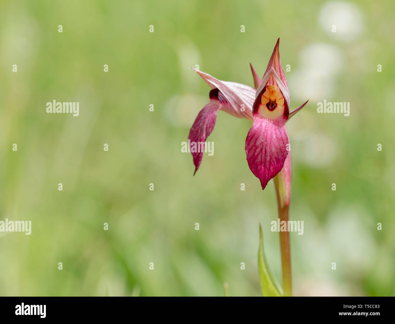 Serapias Lingua, Tongue orchid. Wildflower. Beautiful detailed view inside flower. - Stock Image