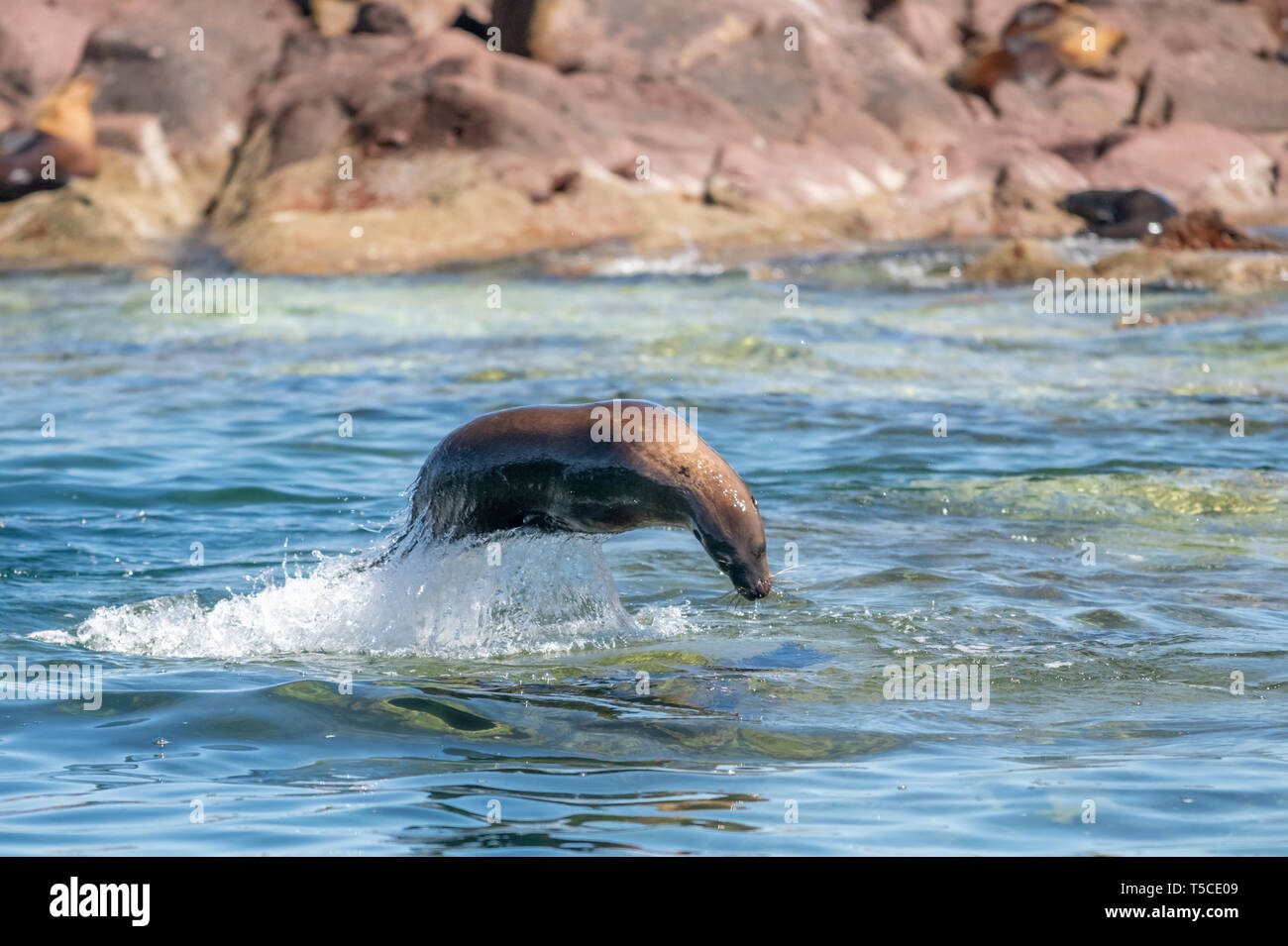 California Sea Lion (Zalophus californianus) leaping out of the water at Los Islotes, Baja California, Mexico. - Stock Image