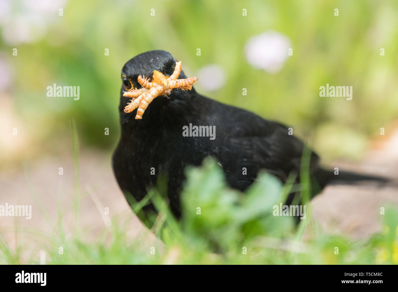 Stirlingshire, Scotland, UK. 23rd Apr, 2019. uk weather - a blackbird collecting food for its young takes full advantage of live mealworms left out in a Stirlingshire garden on another dry day. Dry weather makes it very difficult for ground feeding birds such as blackbirds to access earthworms because of hard soil. Credit: Kay Roxby/Alamy Live News Stock Photo