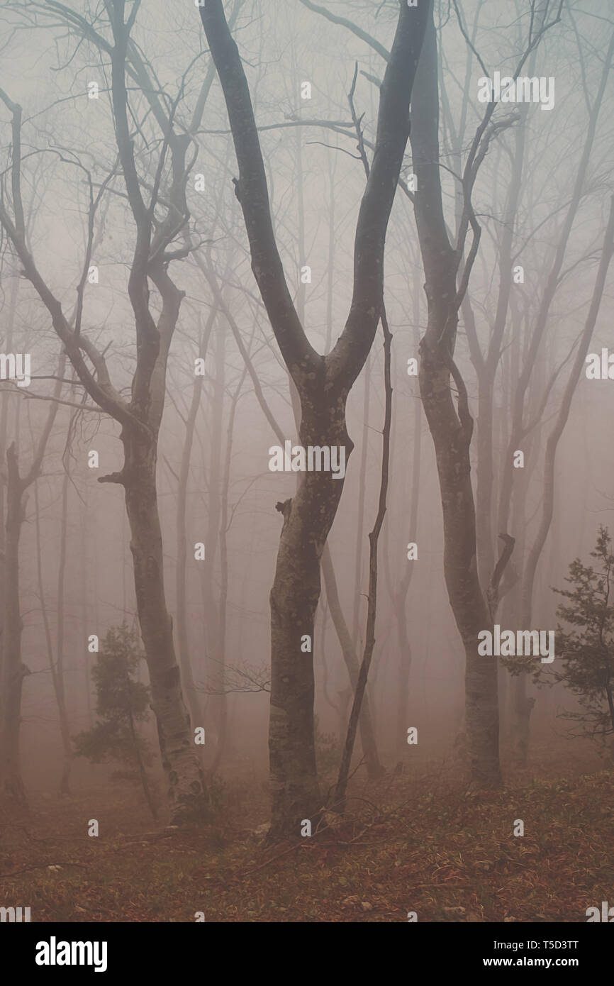 beech forest in the middle of the fog, albania - Stock Image