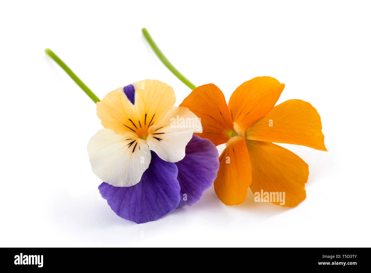 Pansy flowers isolated on white background - Stock Image