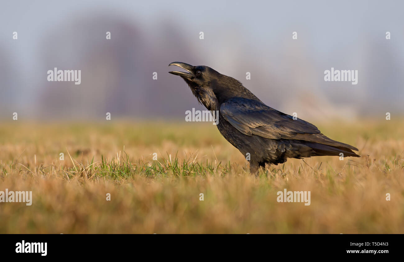Common Raven cries very loudly in the early morning - Stock Image