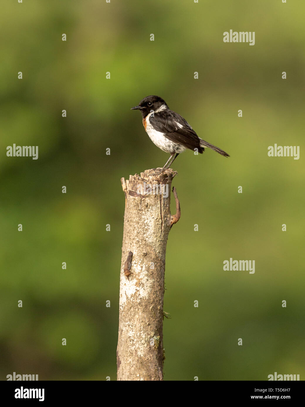 Male stonechat perched on a fence post at sunrise - Stock Image