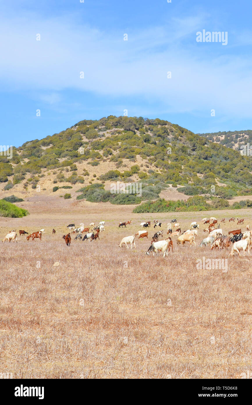 Beautiful countryside landscape with herd of goats grazing on dry field close to small hills taken on a sunny day. Photo from remote Karpas Peninsula located in Turkish part of Cyprus. - Stock Image