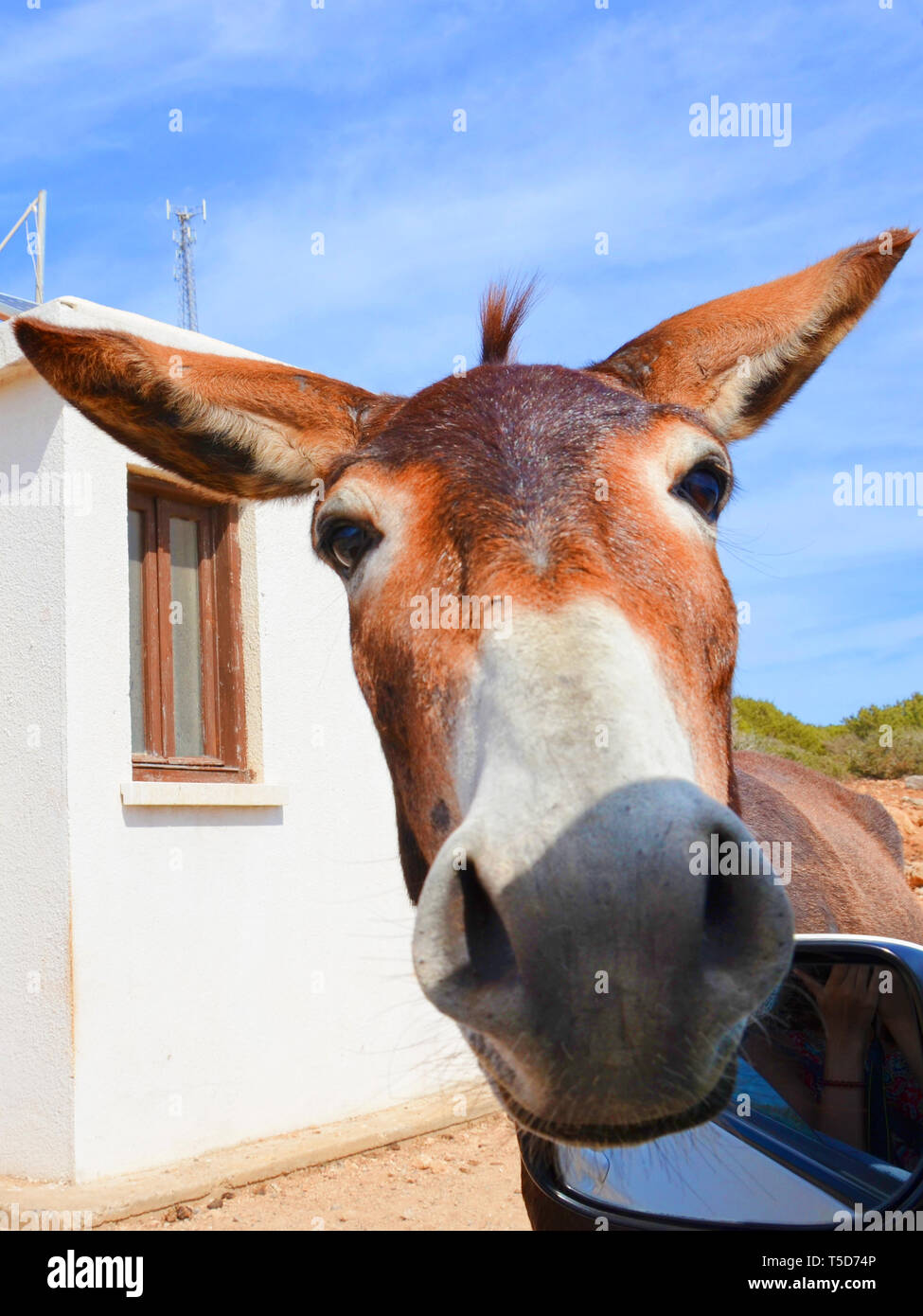 Detail of wild donkeys head taken from an opened car window. The animal is looking directly at camera. Taken in remote Karpas Peninsula, Turkish Northern Cyprus. The donkeys are local attraction. - Stock Image