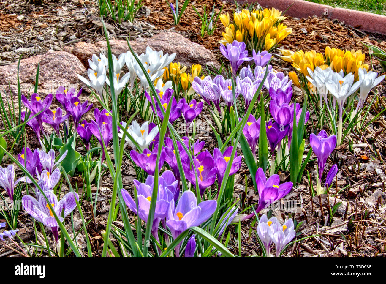Large flowered crocus in bloom. Stock Photo