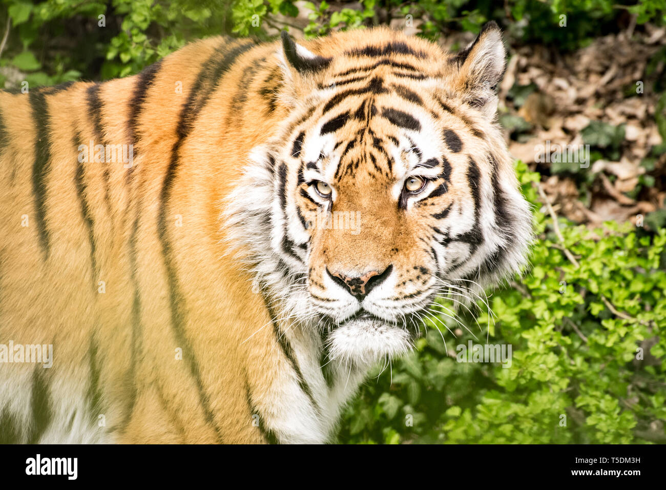 Siberian tiger in the Munich zoo - Stock Image